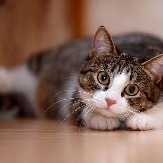 مشاكل القطط الذكور: حل مشكلة رش البول عند القطط الذكور