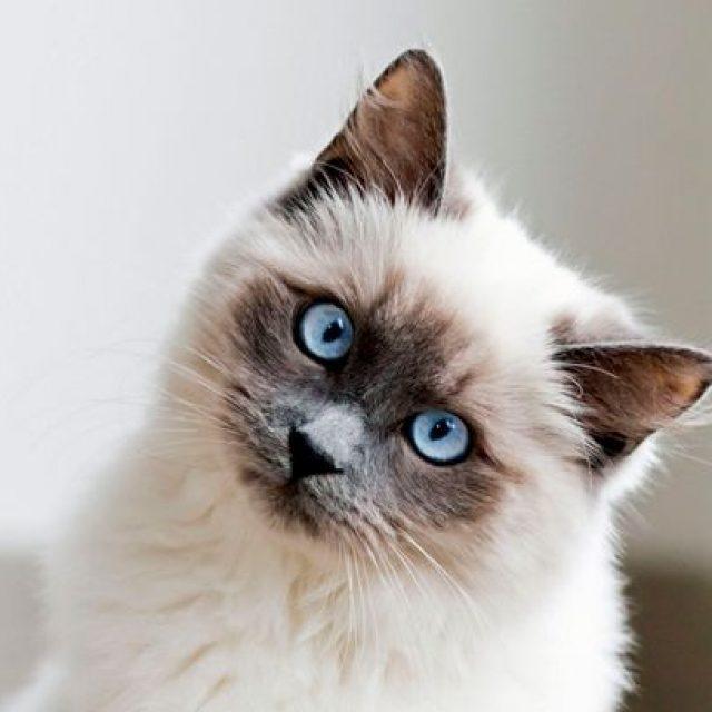 فيروس الكاليسي للقطط