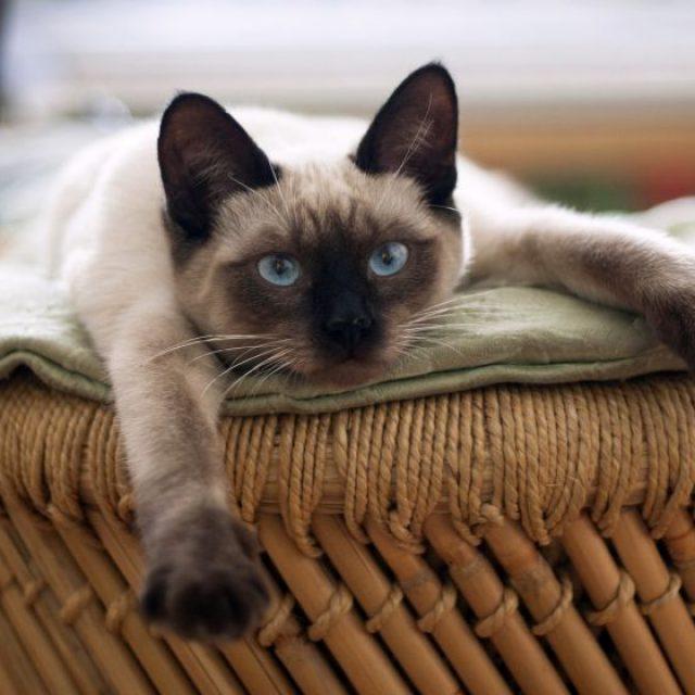 مرض الكبد الدهني في القطط Hepatic Lipidosis