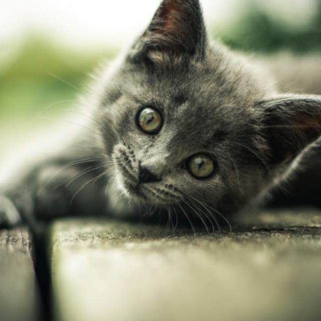 هل تحتاج القطط الطعام الخالي من الجلوتين ؟