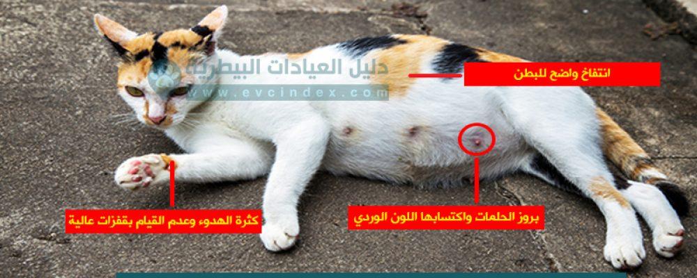 علامات الحمل في القطط بالفيديو والصور