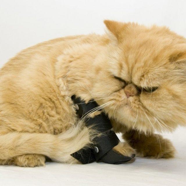 علاج كسور العظام في القطط : الالتواء والعرج والكدمات