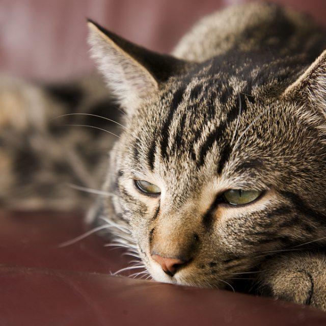 أسباب مرض السكر في القطط