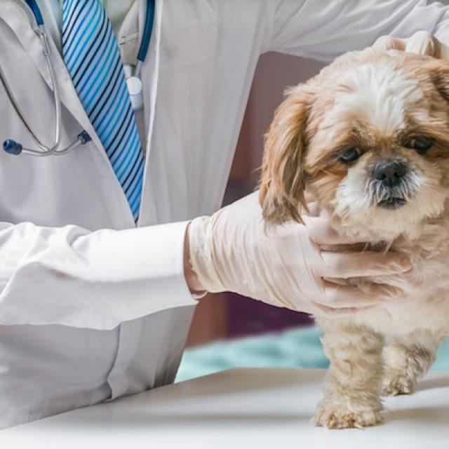 أمراض الكبد عند الكلاب
